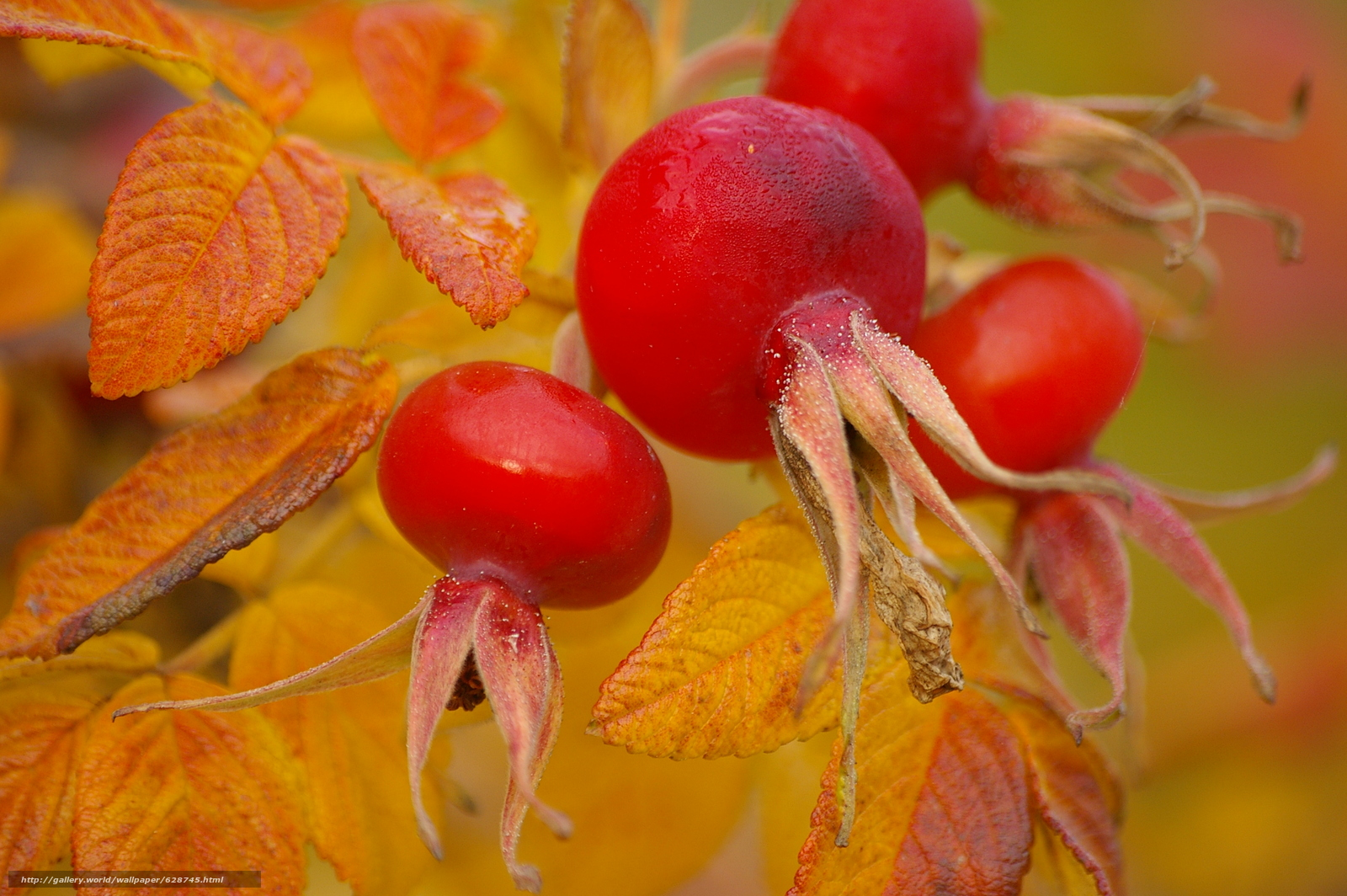 осень, шиповник, плоды, листья, макро