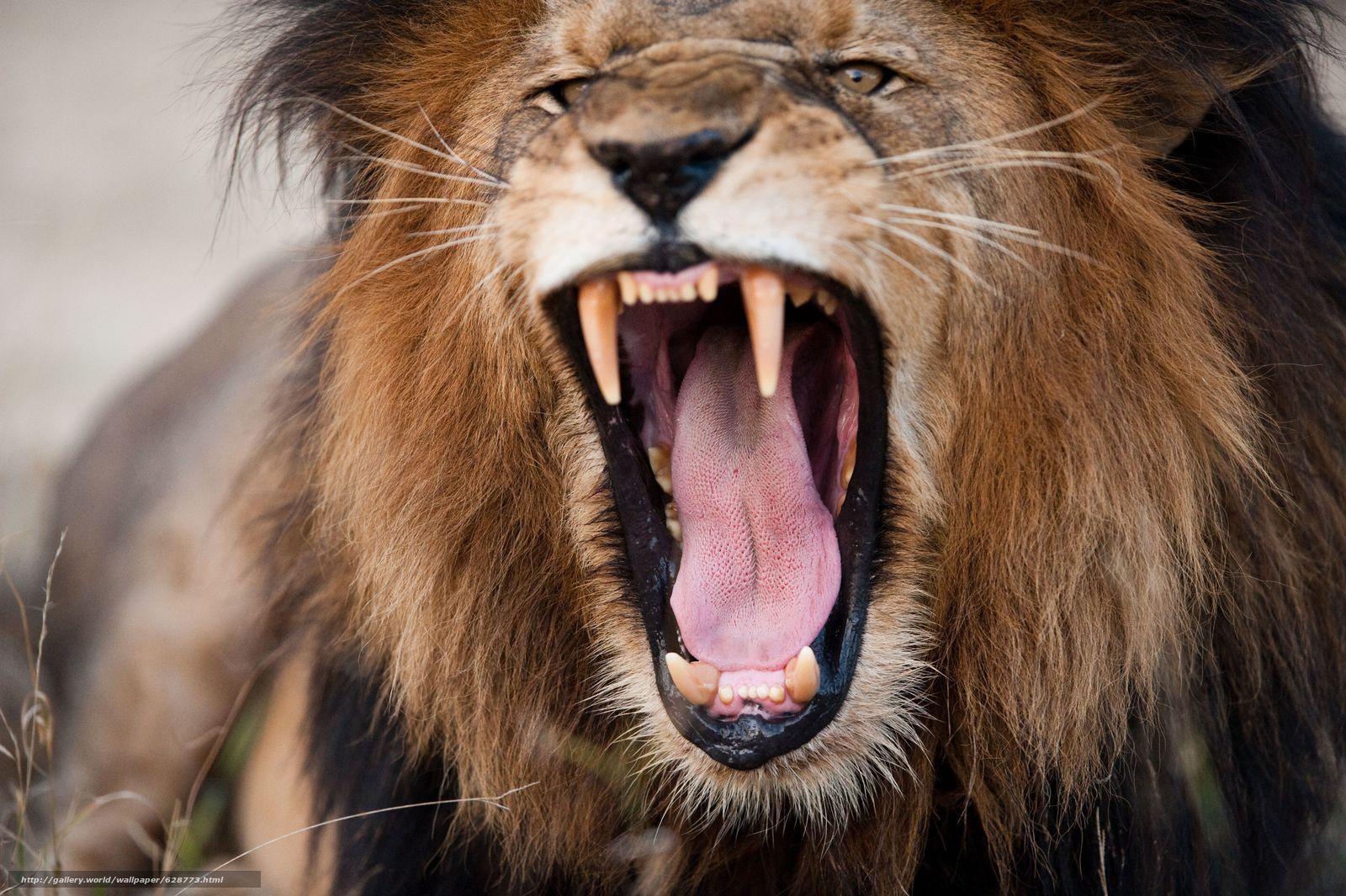 лев, царь зверей, морда, пасть, клыки, злюка