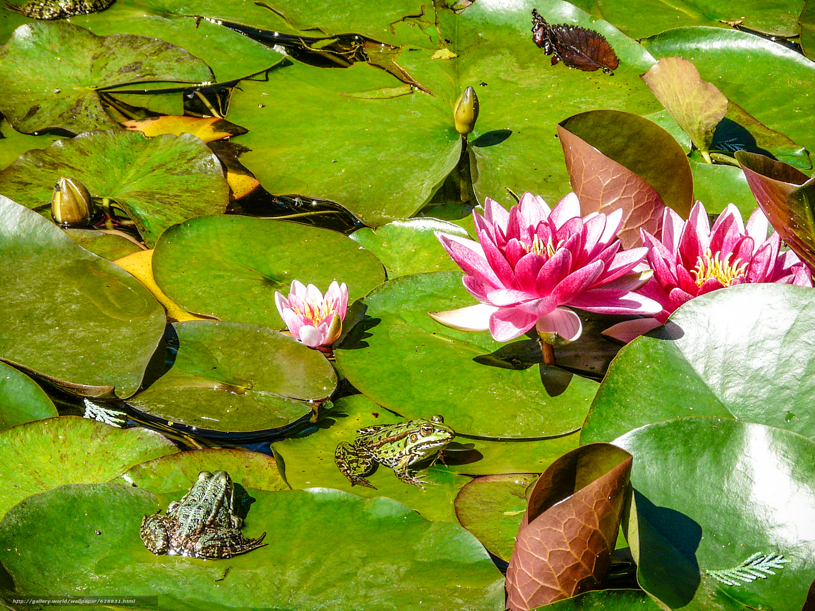 водяные лилии, водоём, лягушки, природа