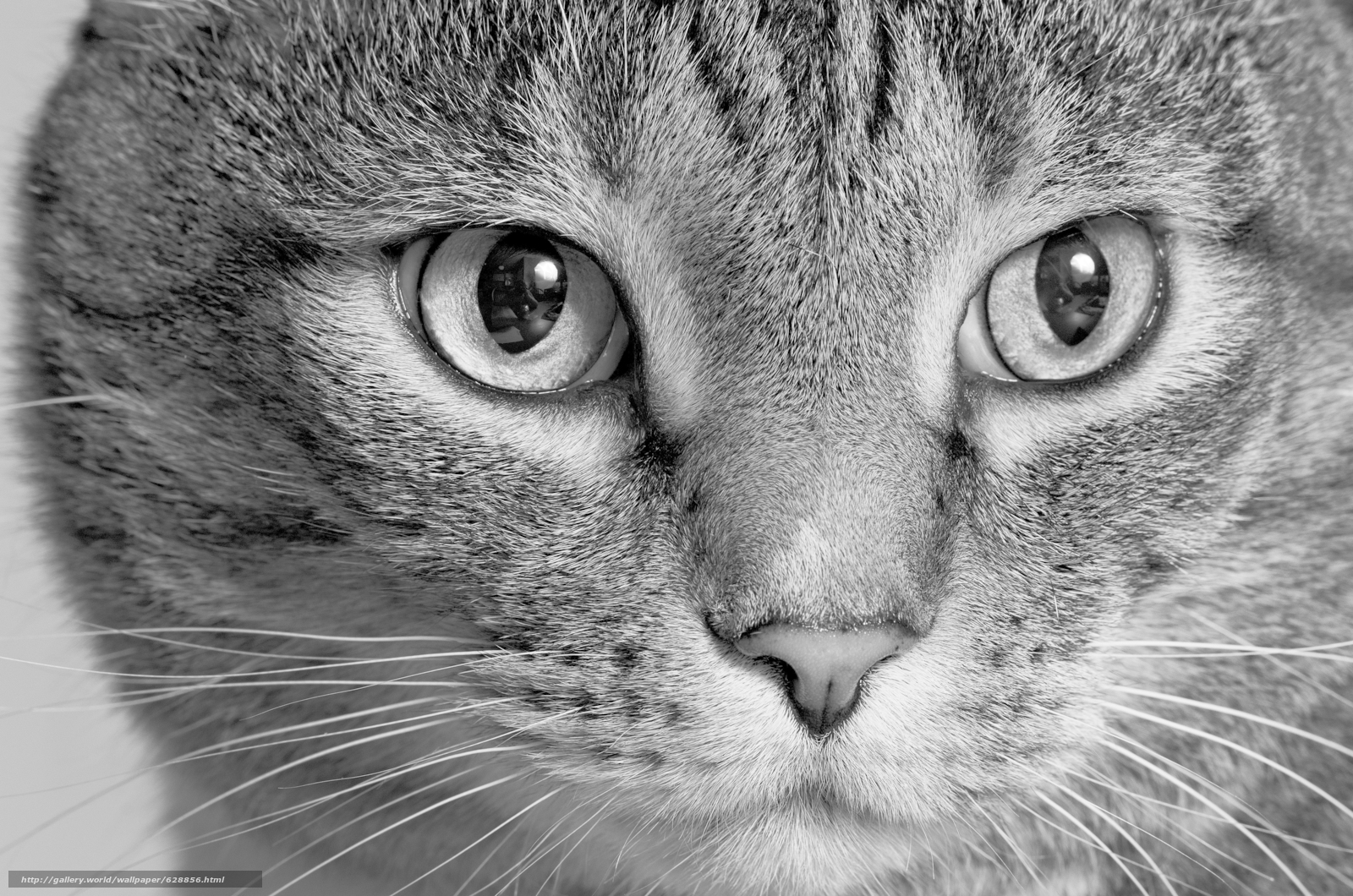 кот, кошка, морда, взгляд, монохром, чёрно-белая