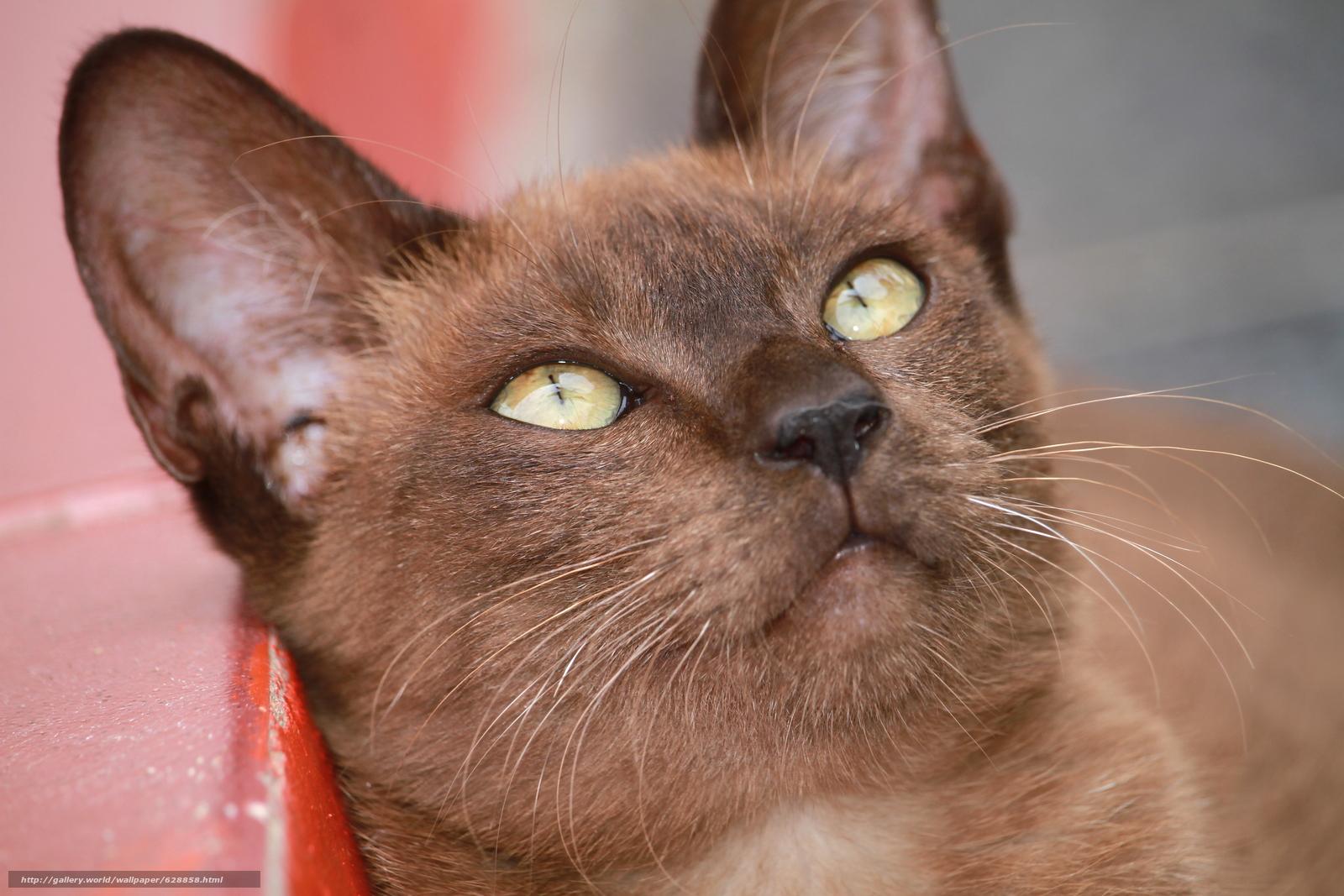 Бурманская кошка, бурма, мордочка