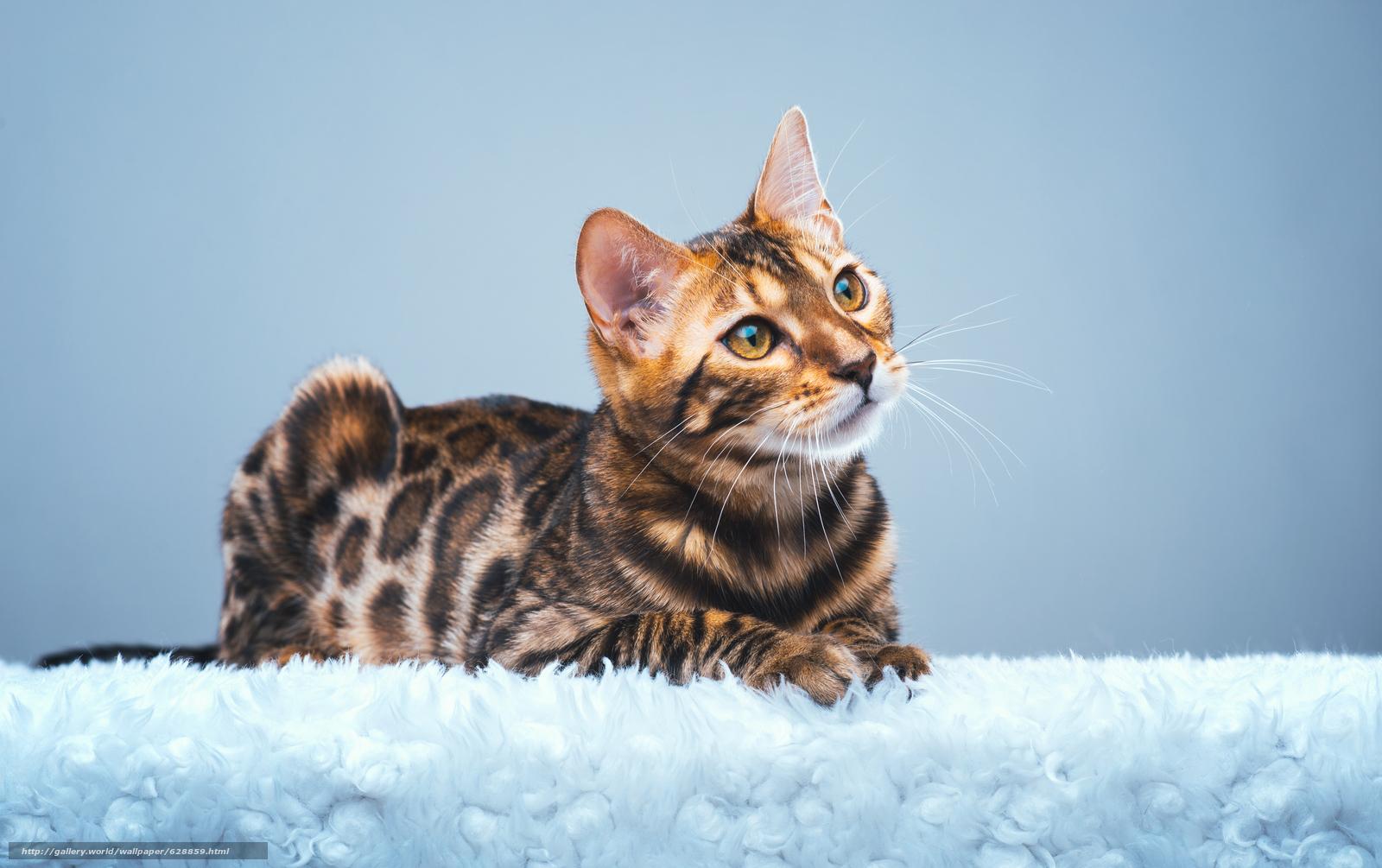 Бенгальская кошка, бенгал, взгляд