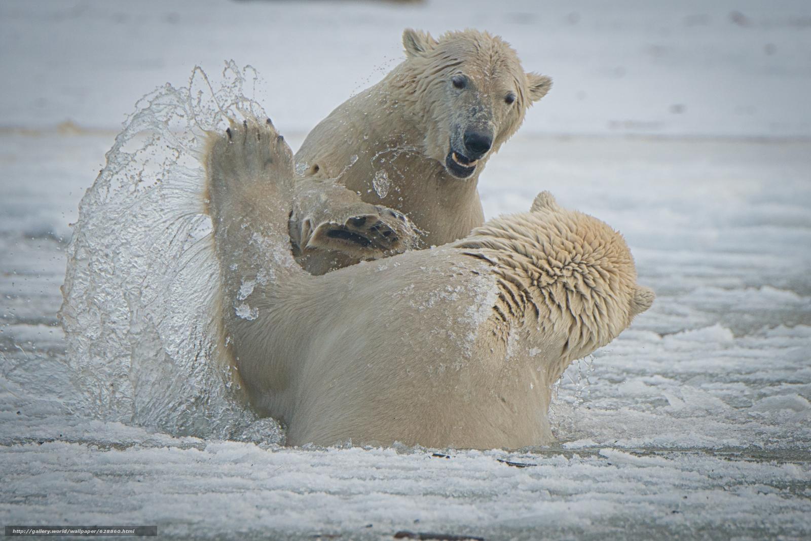 Arctic National Wildlife Refuge, Alaska, Национальный Арктический заповедник, Аляска, белые медведи, медведи, спарринг, брызги