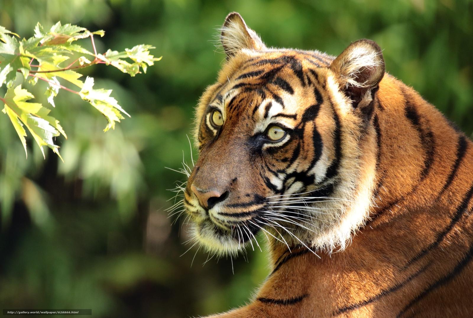 Суматранский тигр, тигр, хищник, морда, портрет, ветка