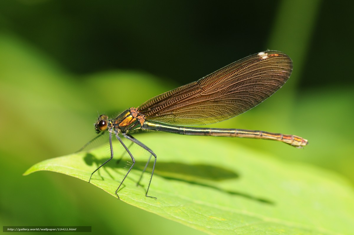 Найти насекомые стрекоза зеленый