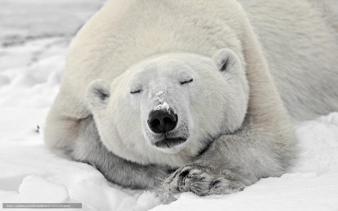 下载壁纸 承担, 雪, 动物 免费为您的桌面分辨率的壁纸 1280x800 —