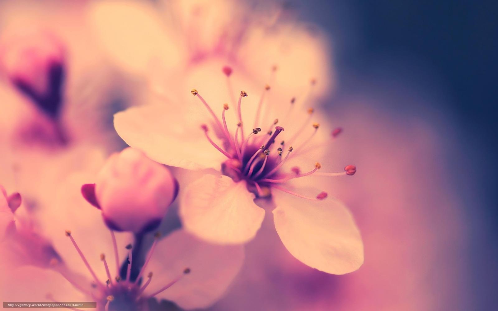 обои макро, цветок, вишня, сакура ...: gdefon.ru/download/makro_cvetok_vishnya_sakura_rozovyj_vesna...