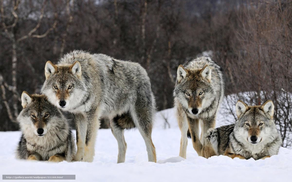 Tlcharger fond d 39 ecran loups hiver neige voir fonds d for Fond ecran hiver animaux
