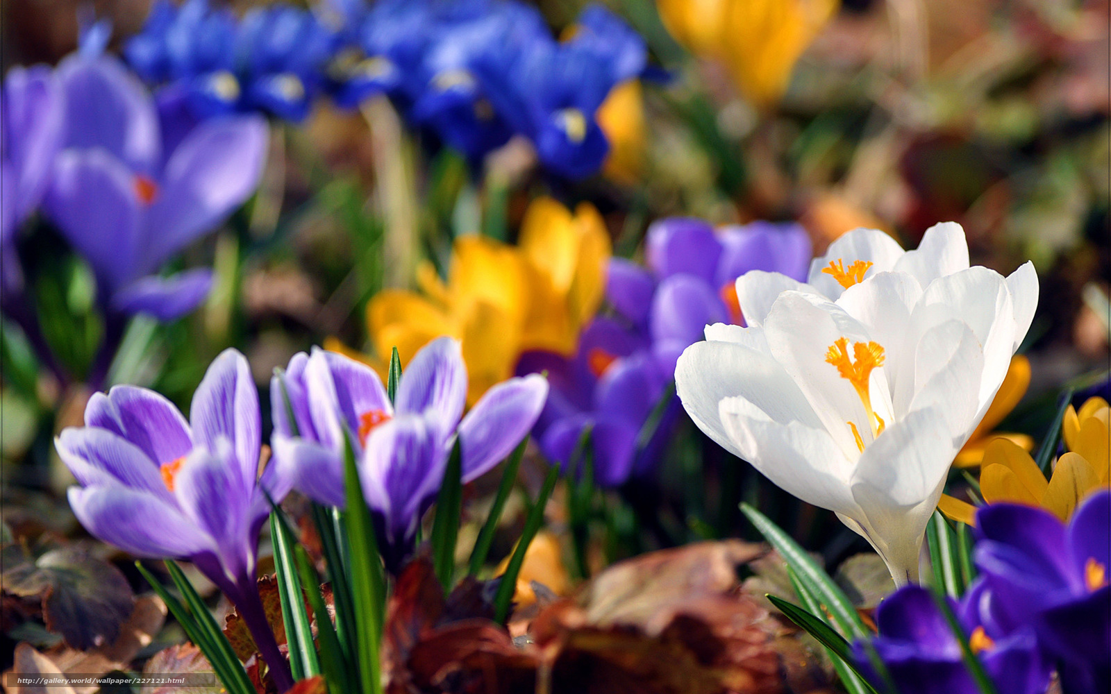 Крокусы цветы Уход Посадка  Начинающему цветоводу