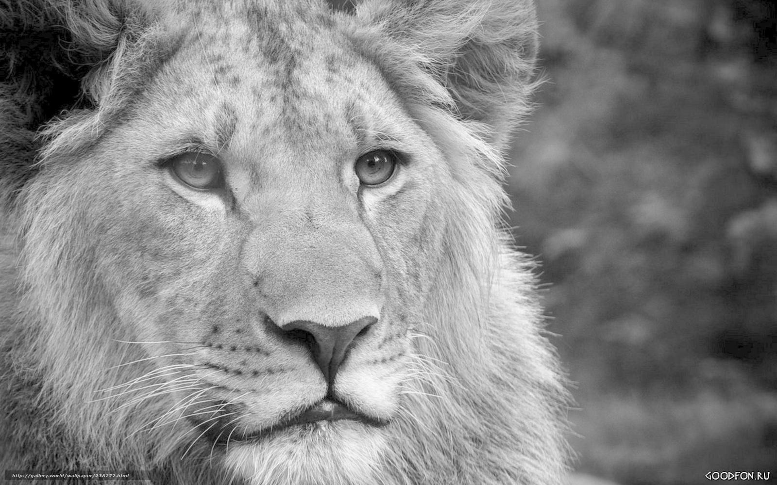 tlcharger fond d 39 ecran lion voir savane afrique fonds d 39 ecran gratuits pour votre rsolution. Black Bedroom Furniture Sets. Home Design Ideas