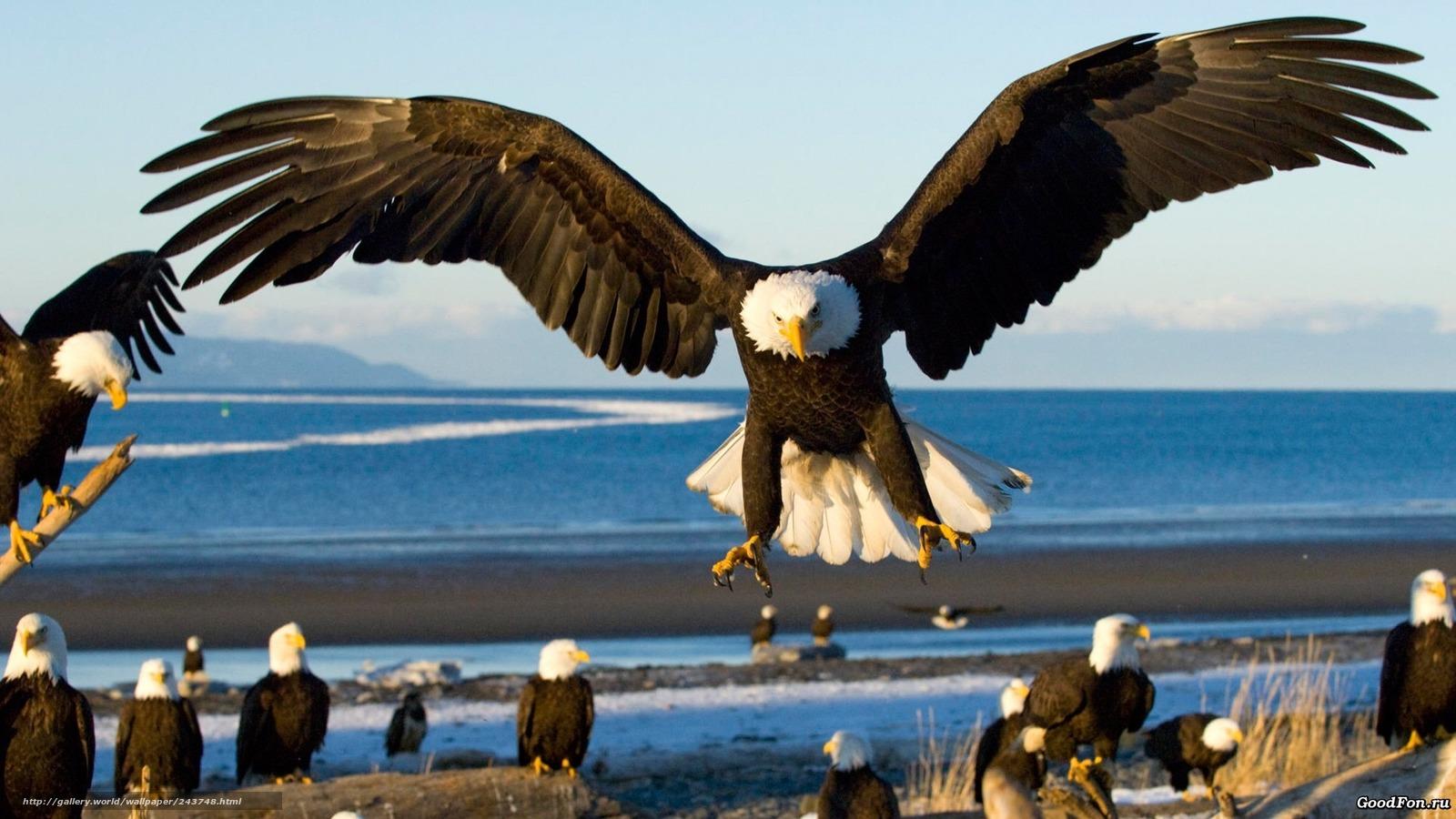 Tlcharger Fond Decran Oiseaux Aigle Mer Atterrissage Fonds