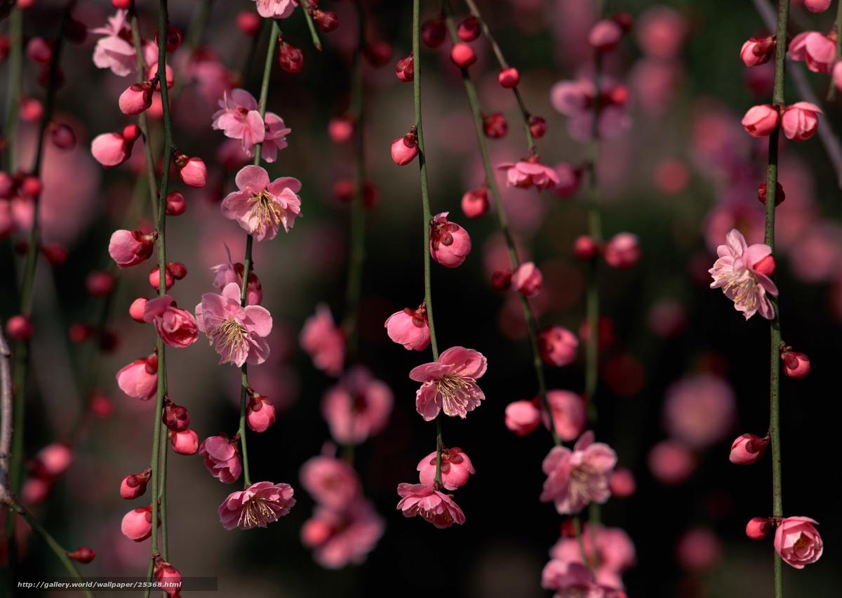 Скачать обои цветы ветки сакура