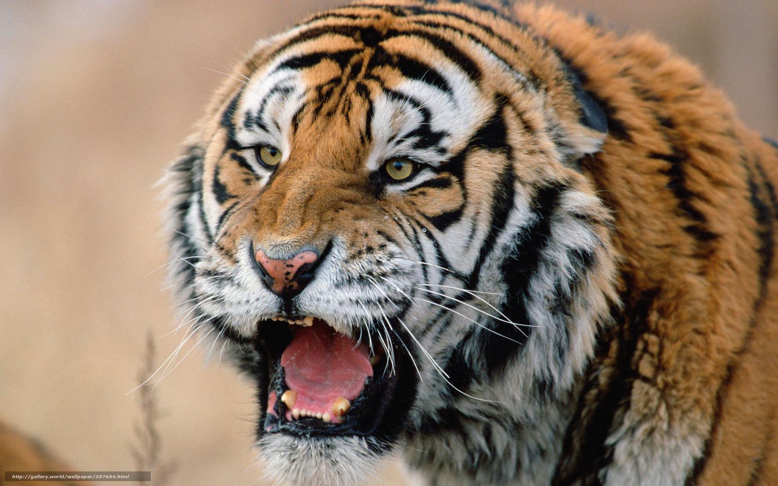 descarca imagini de fundal tigru,  Siberian,  prdtor,  bot Imagini de fundal gratuite pentru rezoluia desktop 1920x1200 — imagine №257694