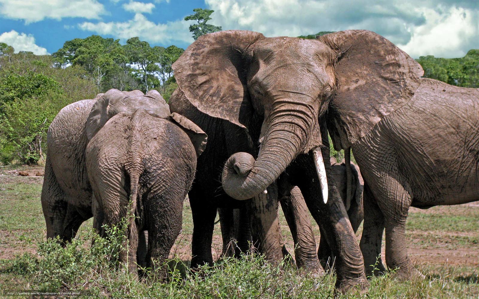 Download Hintergrund Elephants, Natur, Afrika Freie