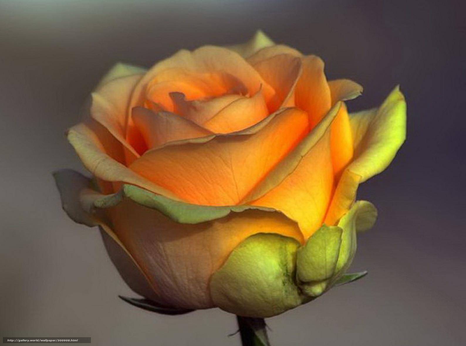Киркоров роза чайная mp3 скачать бесплатно