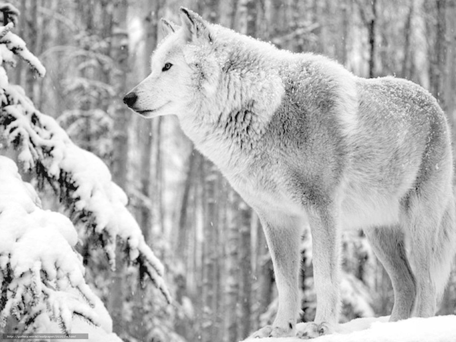 Tlcharger fond d 39 ecran animaux loup hiver neige fonds d for Fond ecran hiver animaux