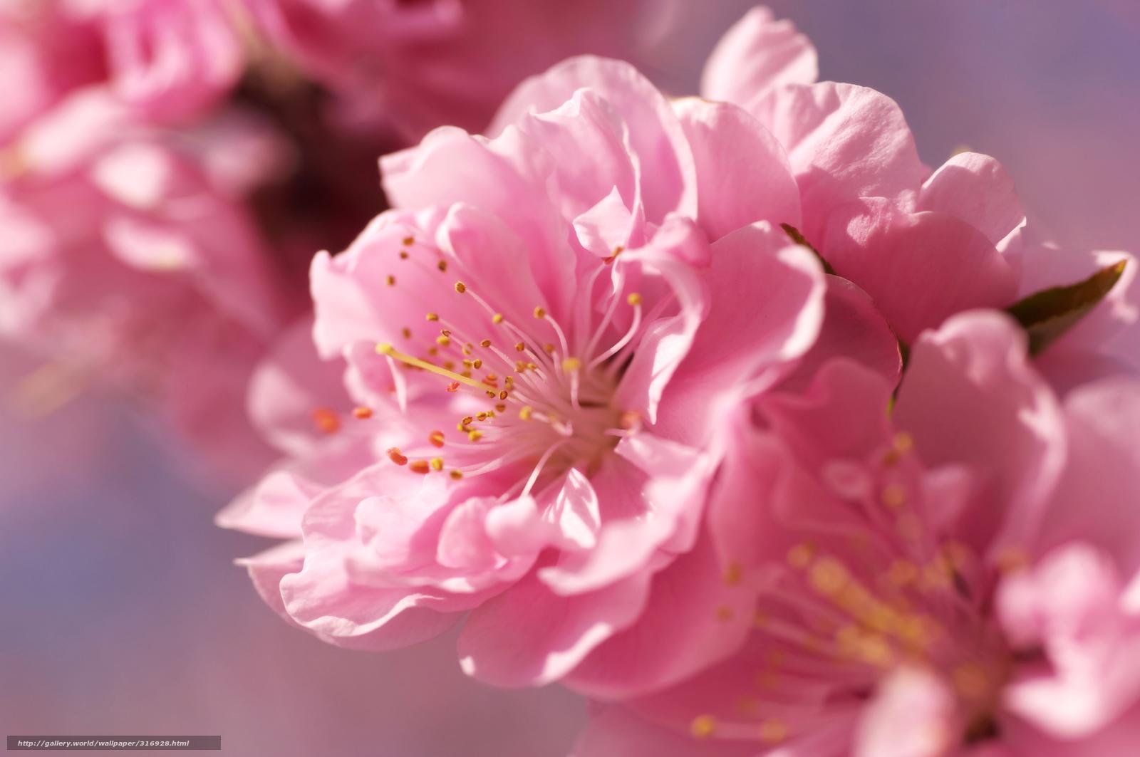 Скачать обои сакура, розовый, цветок ...: ru.gdefon.com/download/sakura_rozovyj_cvetok_nezhnost_razmytost...