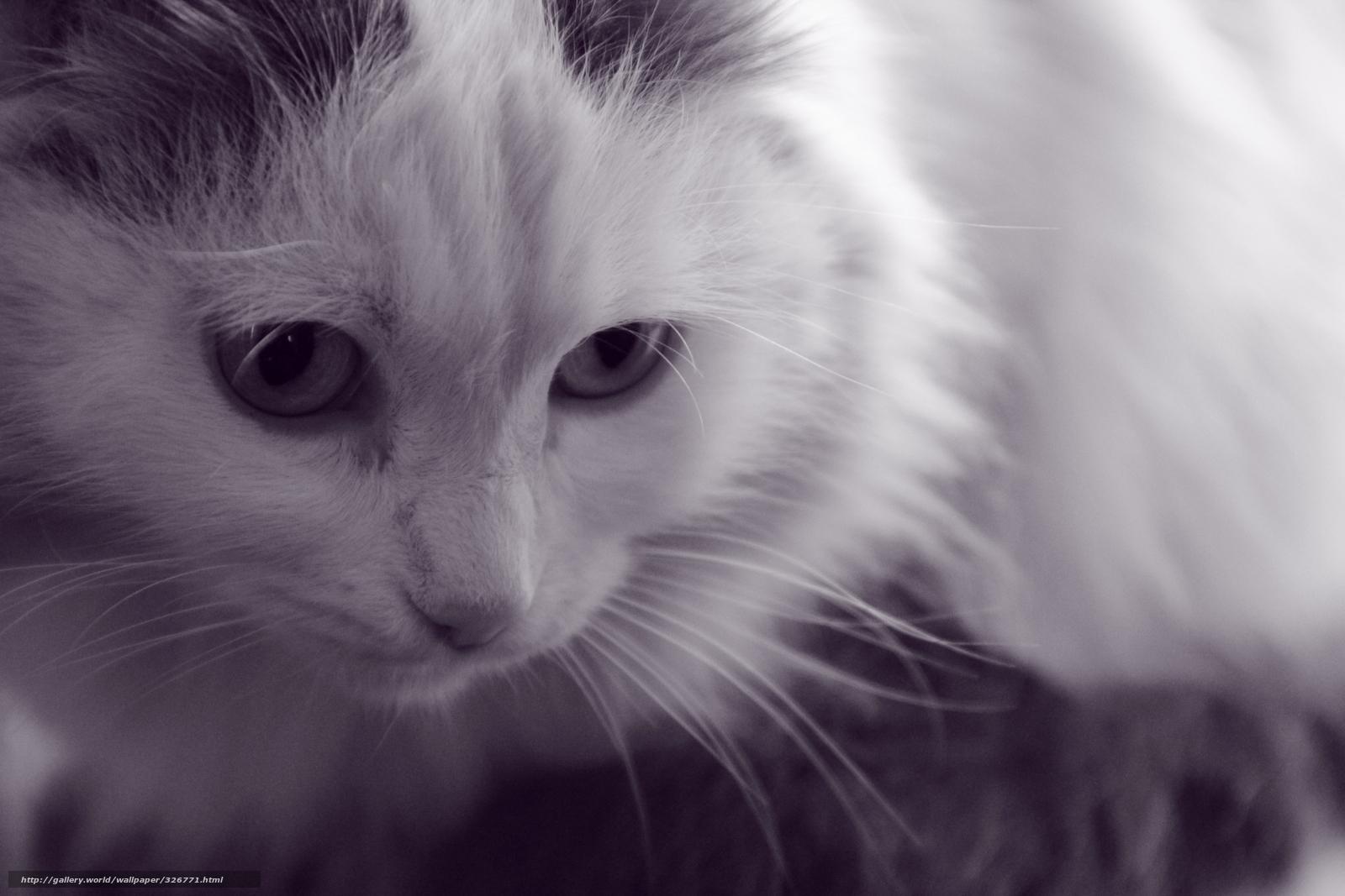 Tlcharger fond d 39 ecran chat blanc animaux fonds d 39 ecran for Bureau fond d ecran