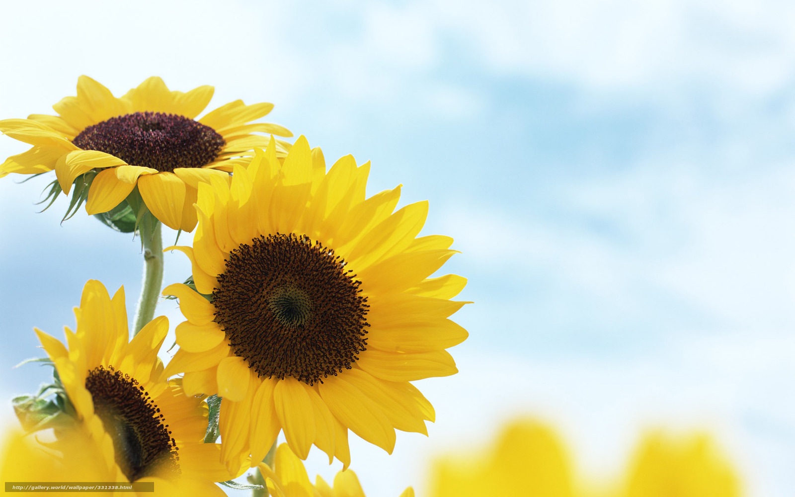 Download wallpaper Sunflowers, yellow, summer, Flowers free