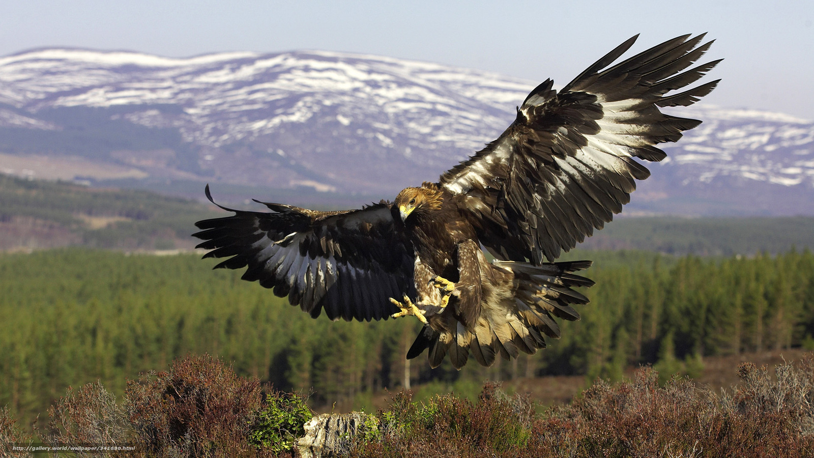wallpaper Golden Eagle  bird  predator  flight free desktop wallpaper    Golden Eagle Hunting Wallpaper
