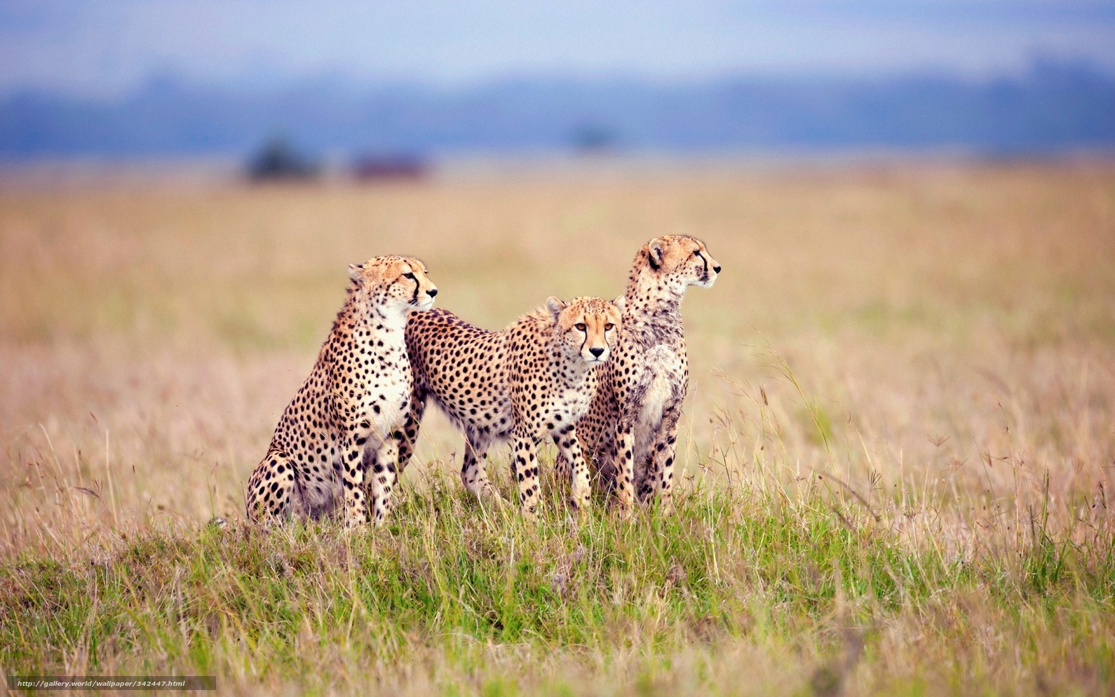 Download wallpaper savannah, family of, cheetahs free desktop