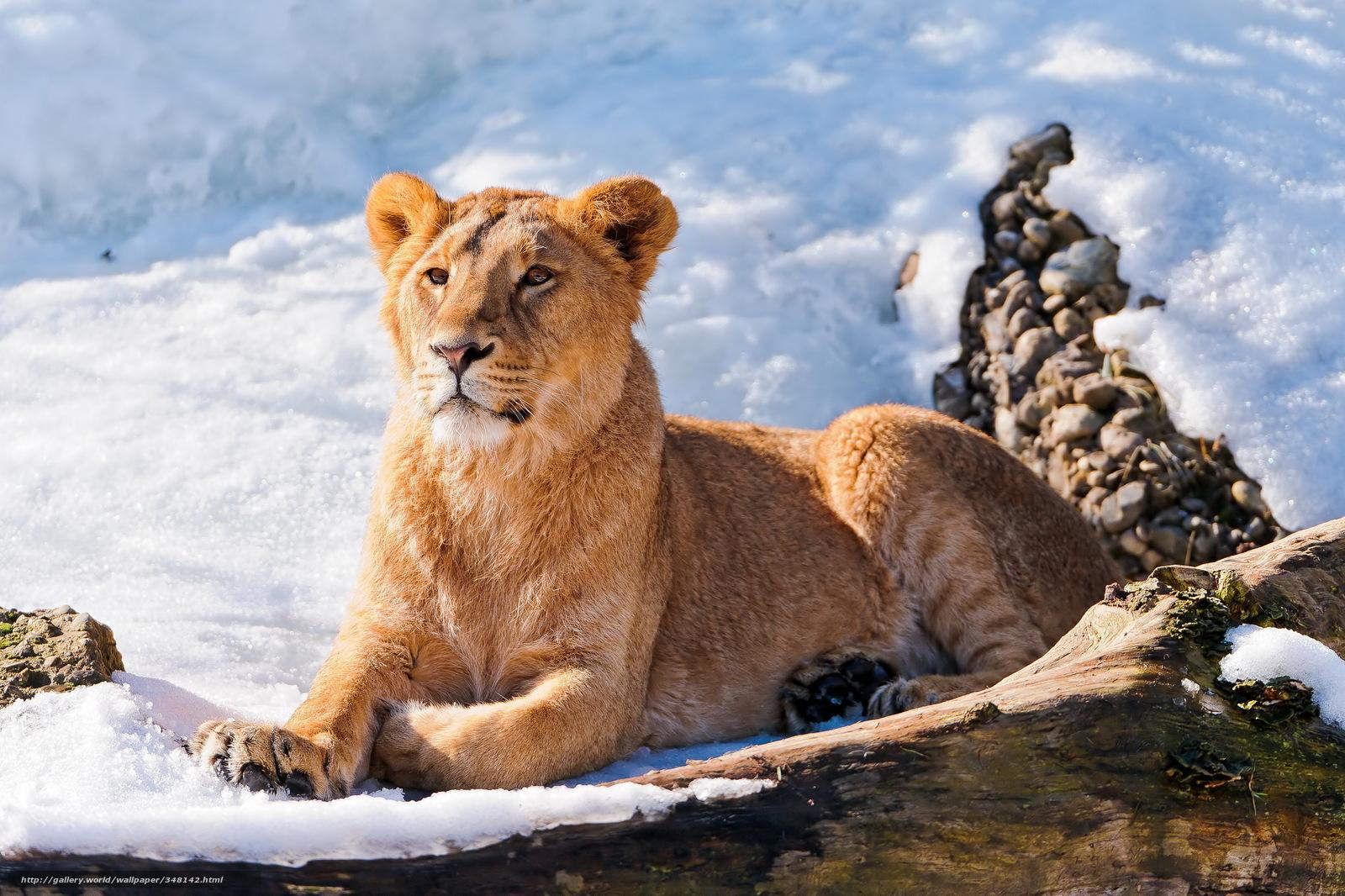 Tlcharger fond d 39 ecran lion neige hiver fonds d 39 ecran for Fond ecran hiver animaux