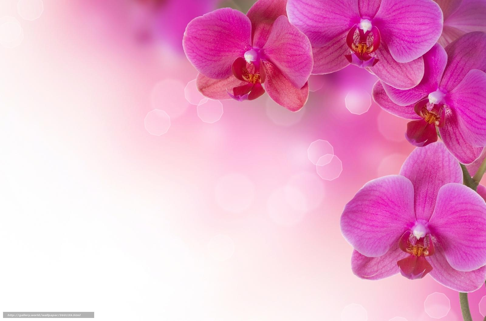 Download hintergrund rosa orchideen blumen pflanzen freie desktop