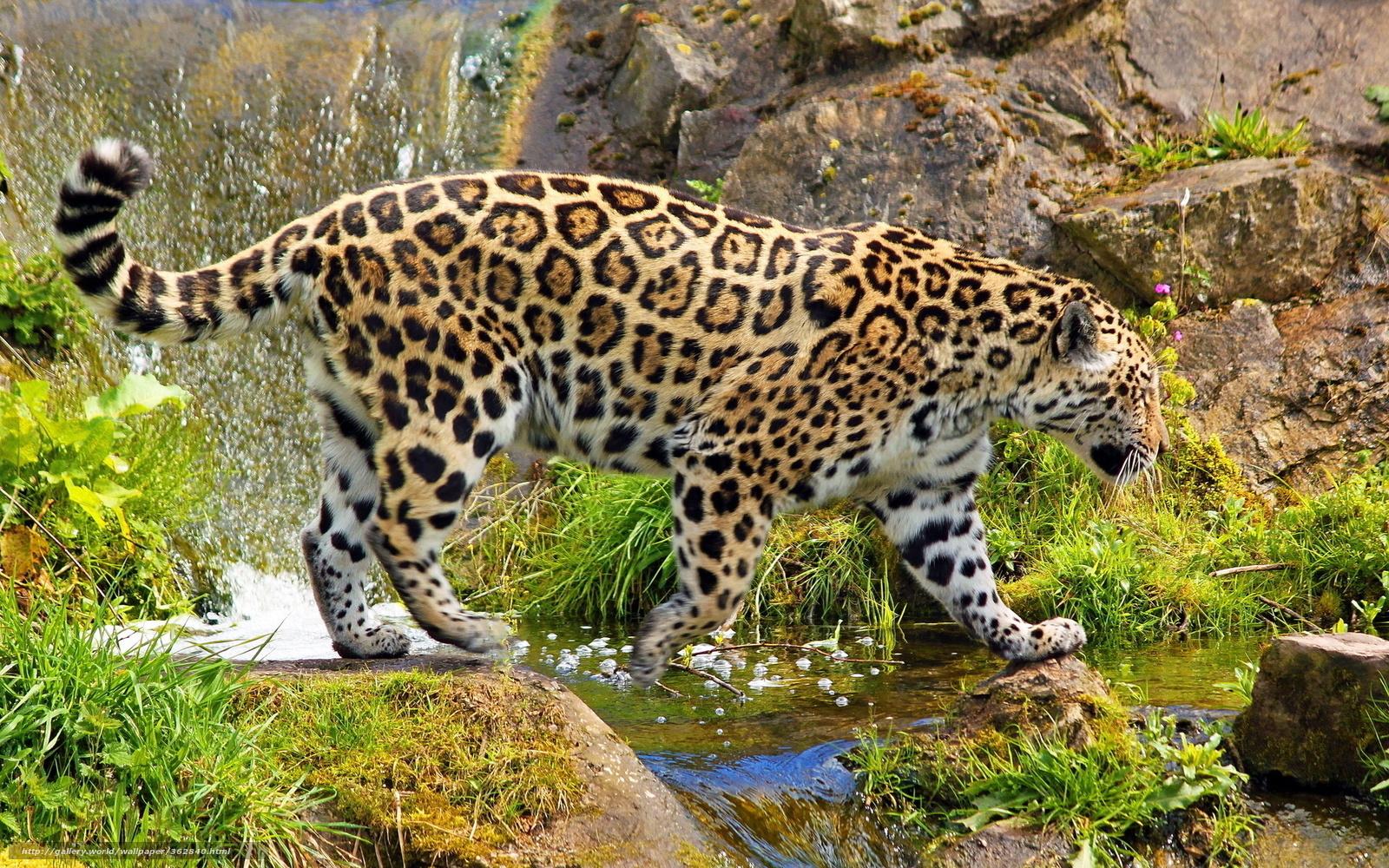 Download wallpaper leopard, stones, grass, waterfall free desktop