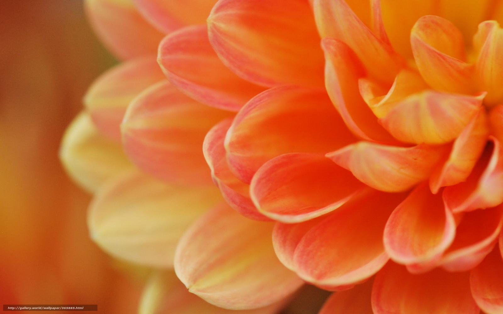 Макро цветок лепестки оранжевый