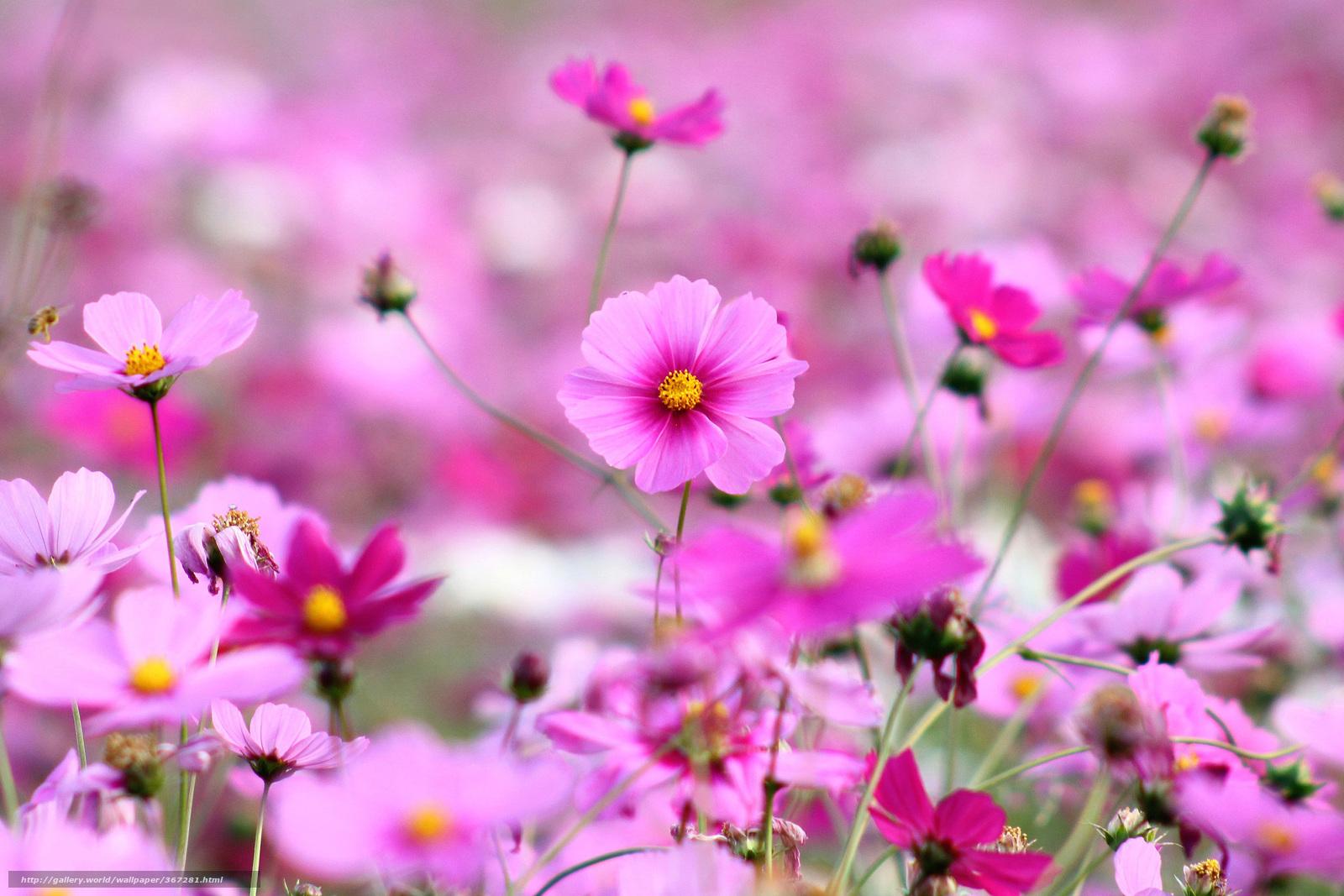 Scaricare gli sfondi kosmeya fiori petali rosa sfondi for Sfondi desktop fiori