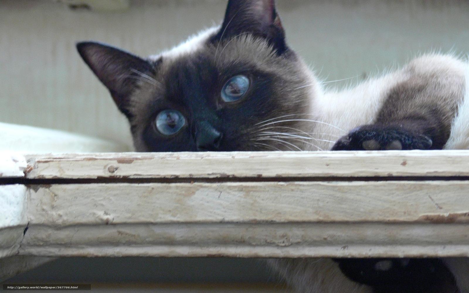 Download wallpaper cat, animal, Tasia, Siamese free