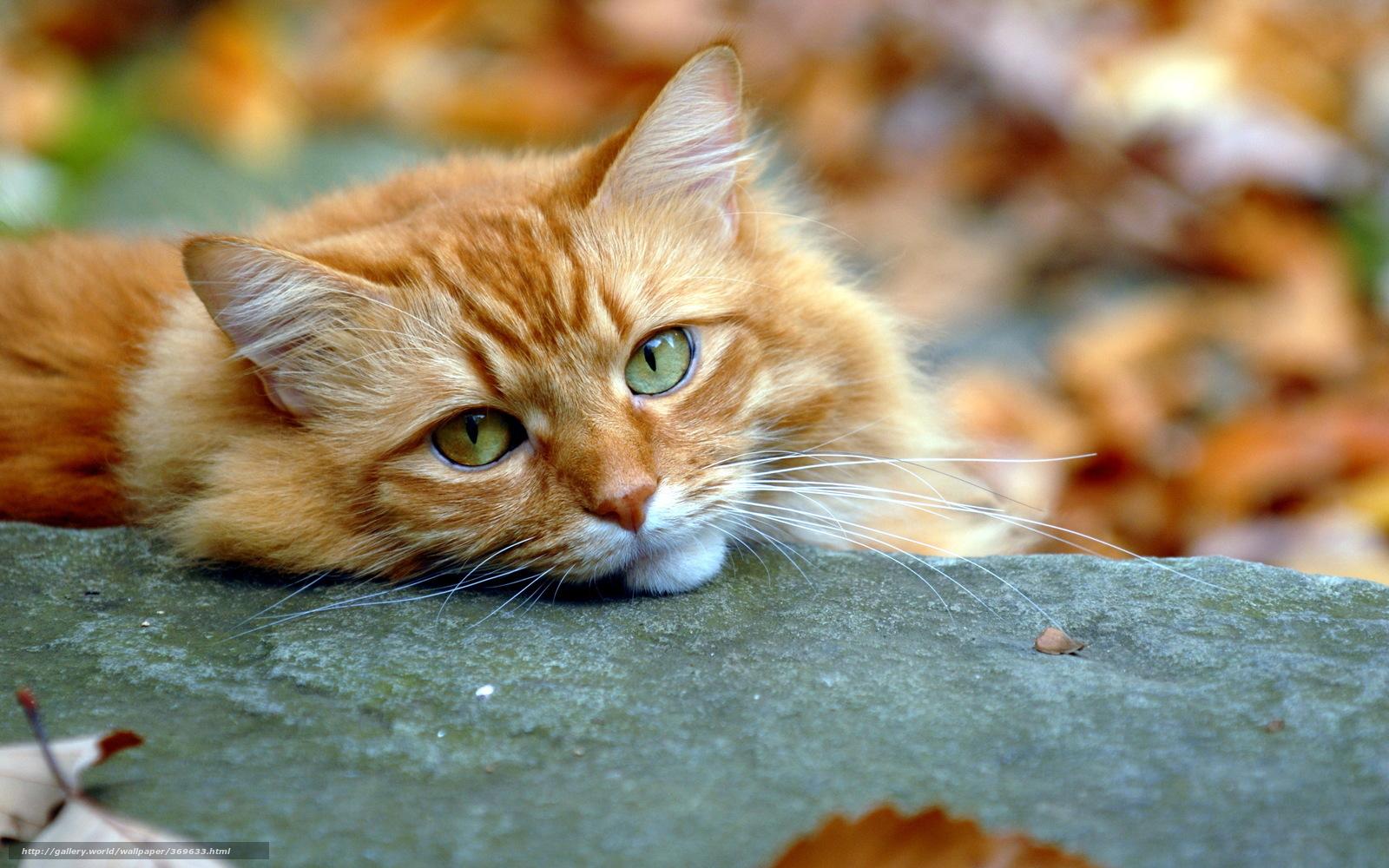 Кот на рабочий стол рыжий
