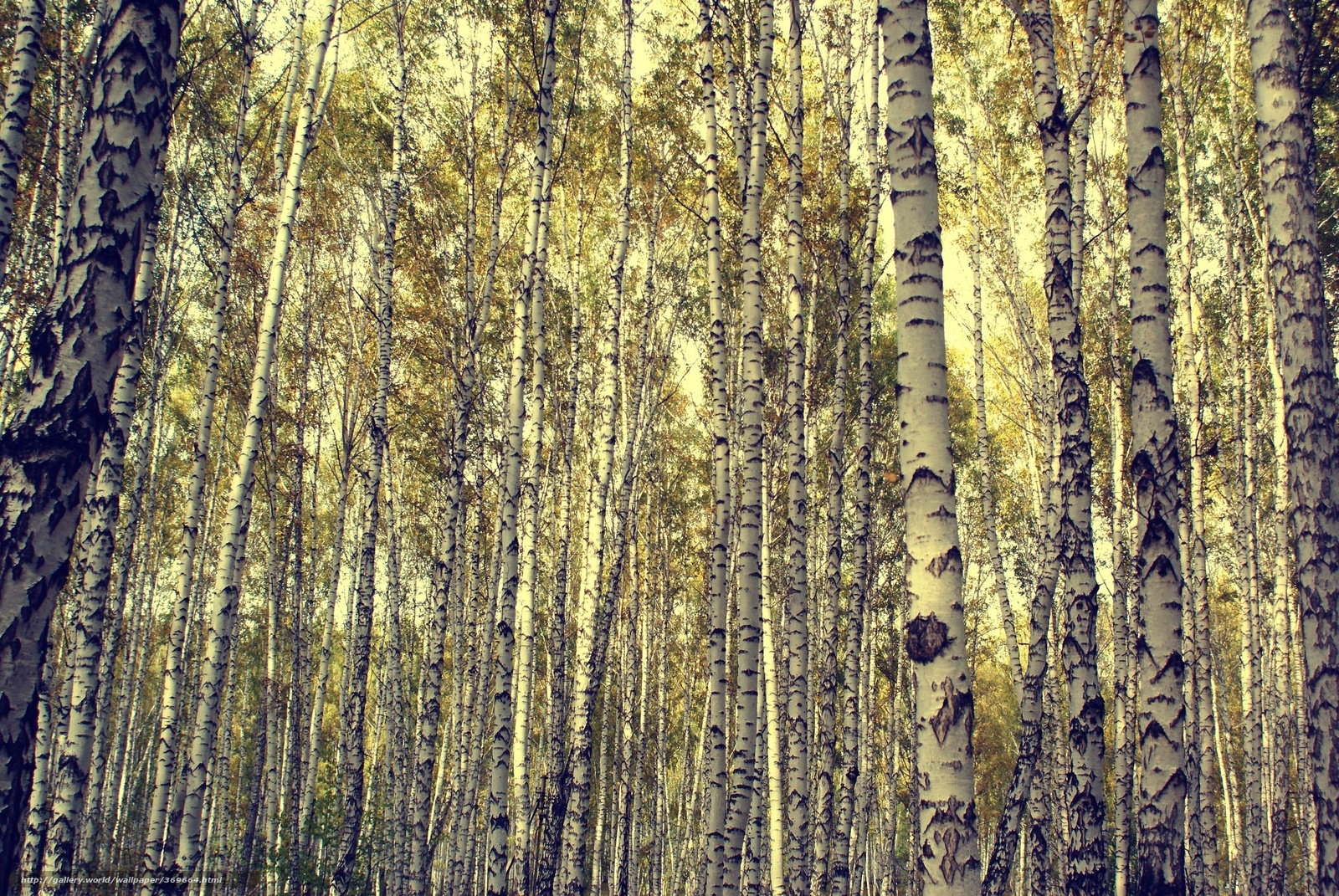 Download Wallpaper Trees Forest Trees Birch Free