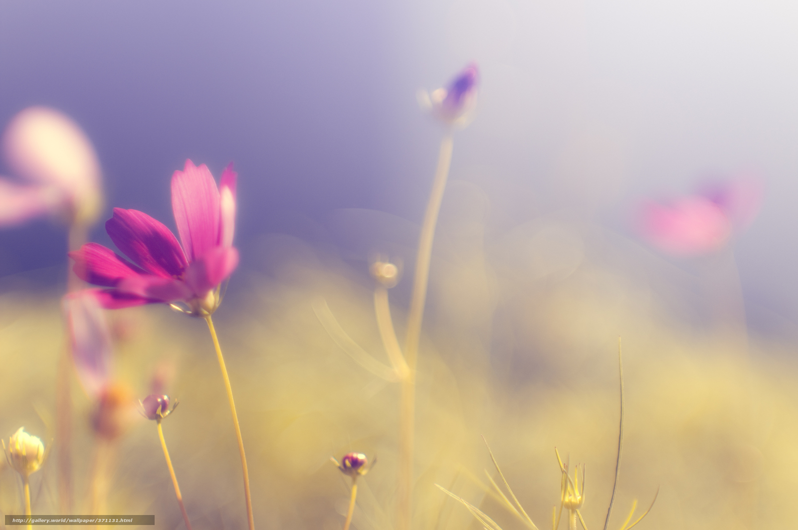 Download wallpaper kosmeya, flower, pink, bright free desktop ...