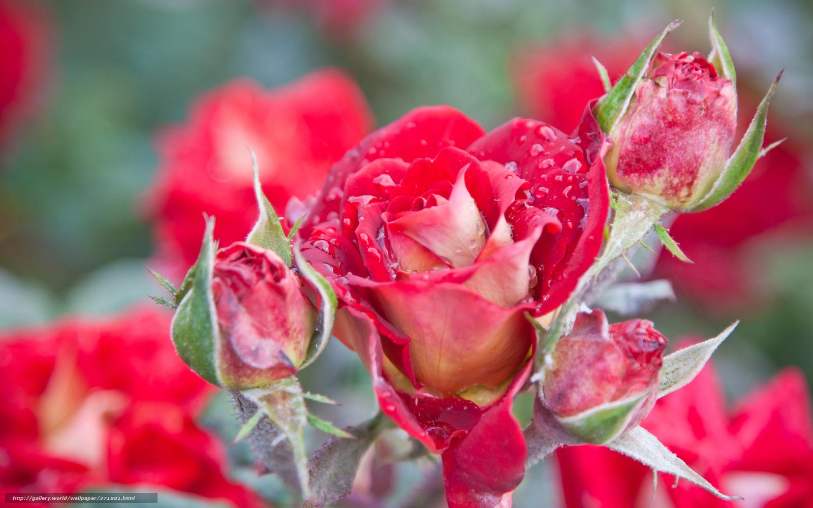 Цветы розы картинки на аву 6