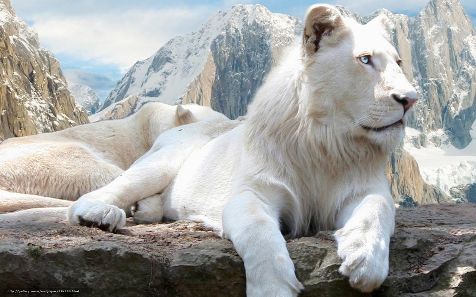 Tlcharger fond d 39 ecran lion le lion blanc blanc fonds d for Sfondi leone