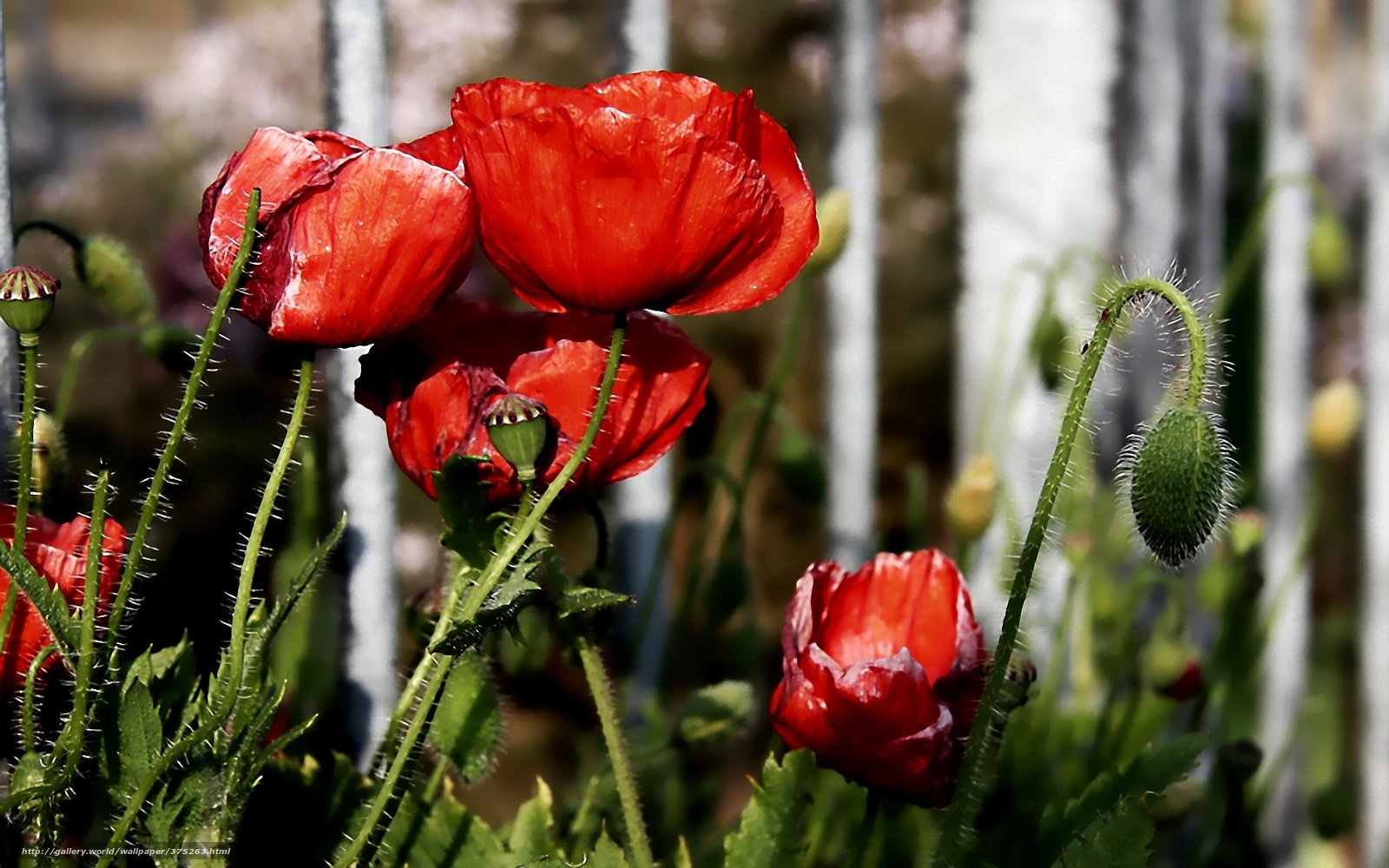 download wallpaper poppies red - photo #6