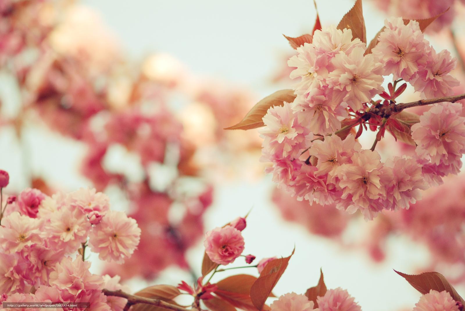 Download Hintergrund sakura, Blumen, rosa, Bltenbltter Freie desktop ...