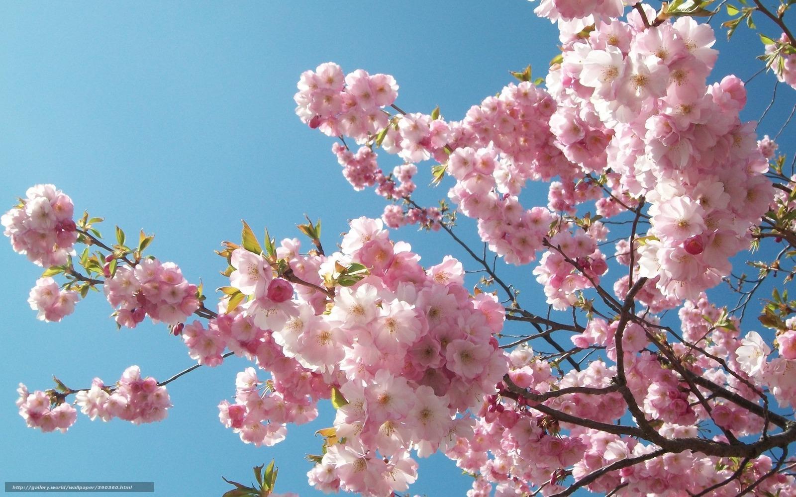 Tlcharger Fond d'ecran sakura, ciel, cerise, bleu Fonds d'ecran gratuits pour votre rsolution du bureau 1680x1050 — image №390360