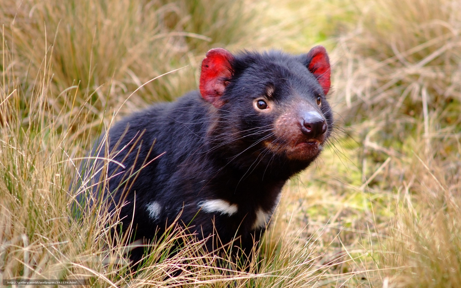 Tasmanischer Teufel Beißkraft