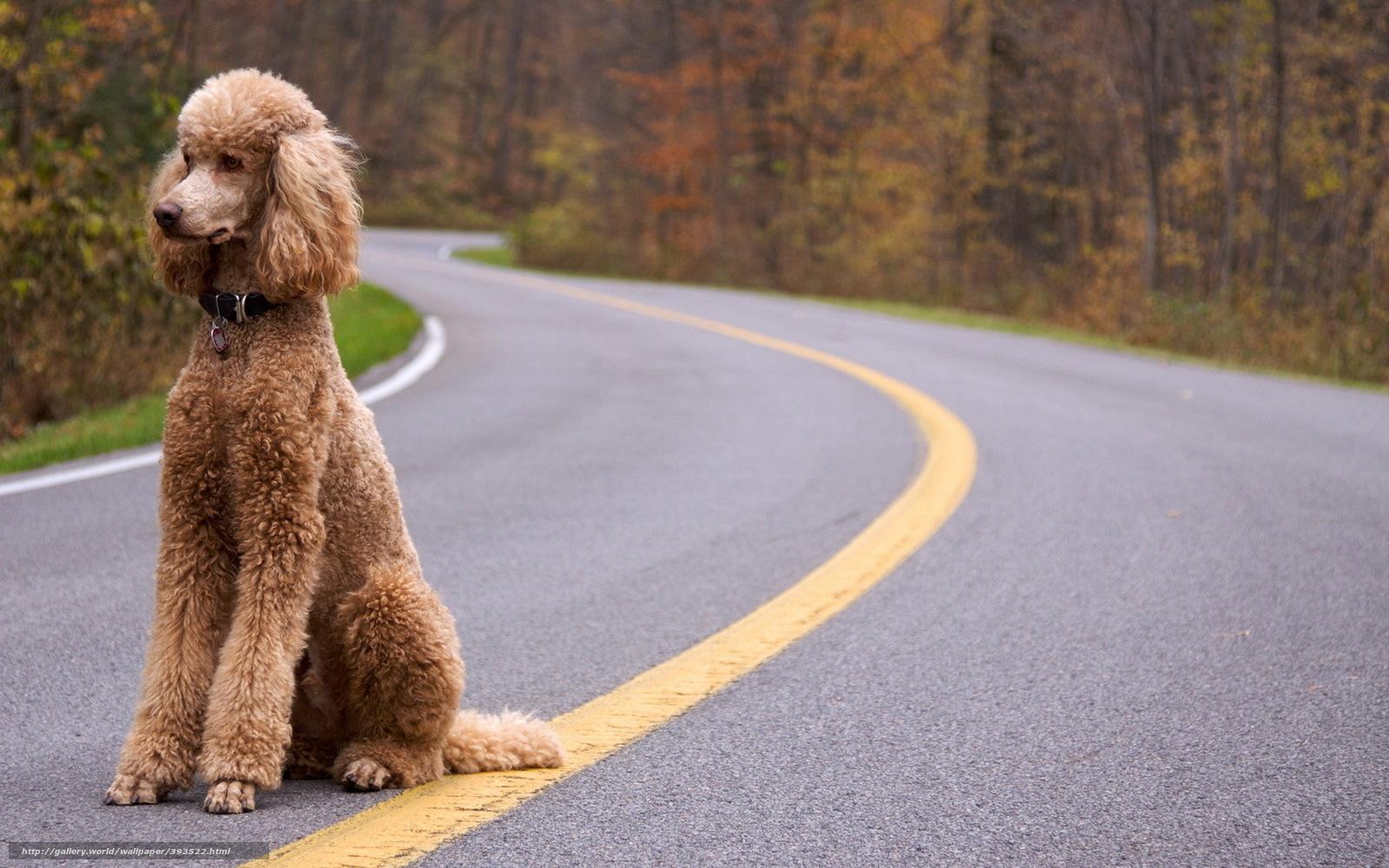 Скачать обои собака пудель дорога