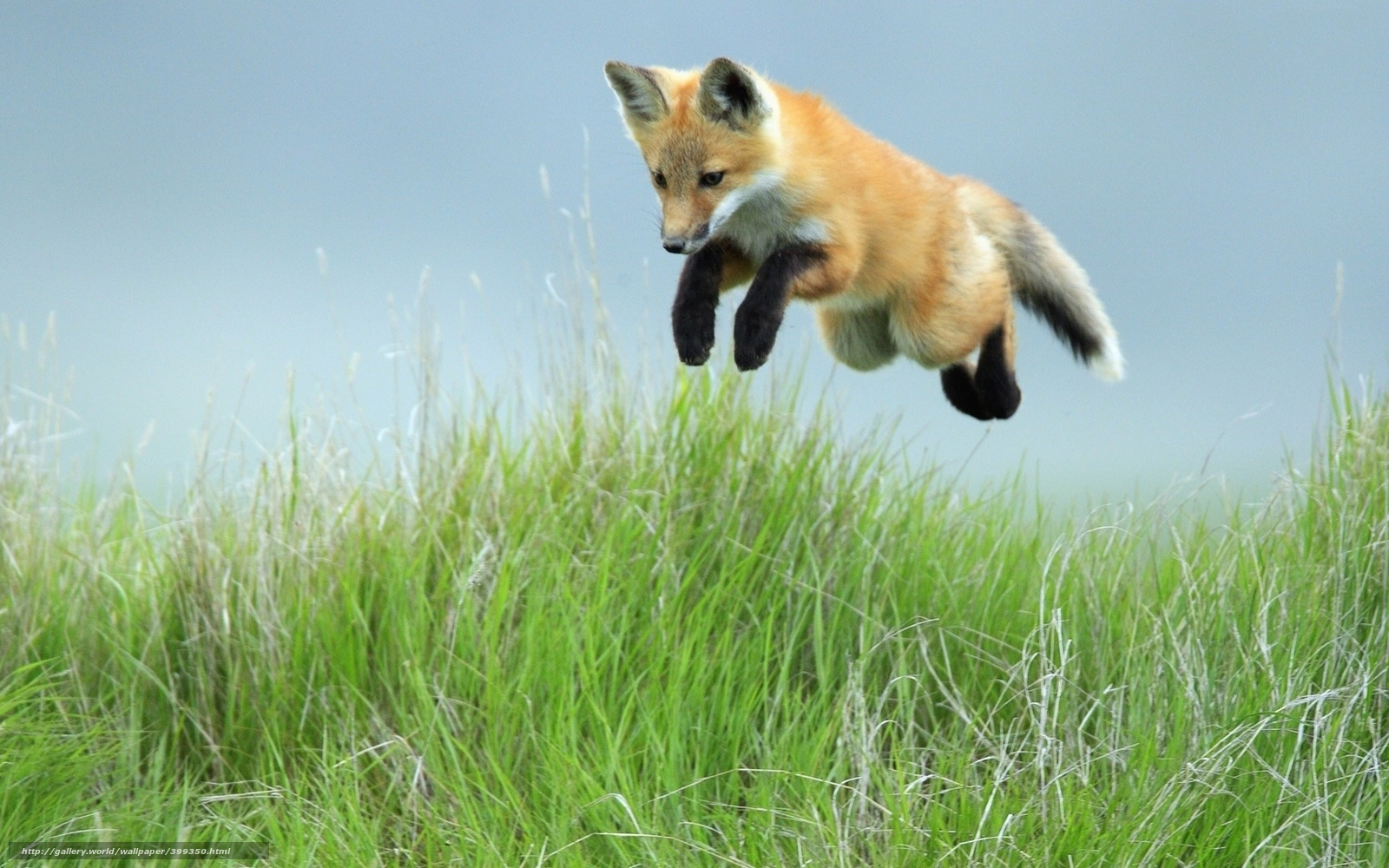Download wallpaper fox, jump, grass free desktop wallpaper in the ...