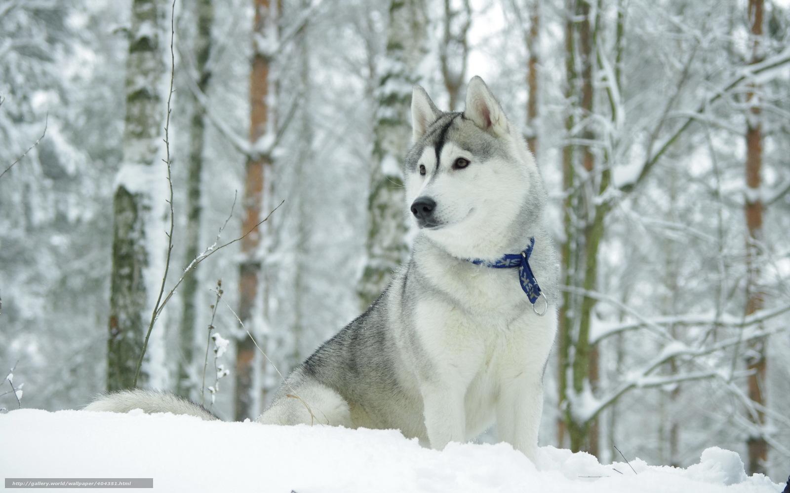 Scaricare gli sfondi cane hask inverno sfondi gratis per for Sfondi gratis desktop inverno