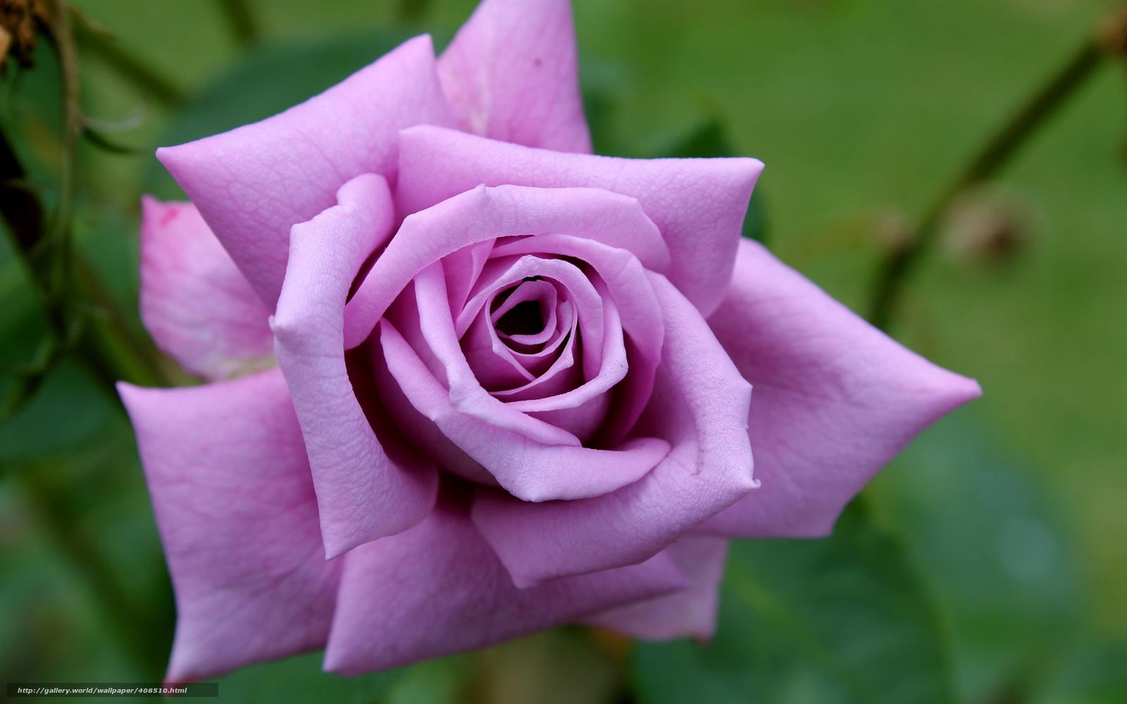 Flores Lilas Con Rosas Sobre Fondo: Descargar Gratis Flor, Rosa, Rosa, Lila Fondos De