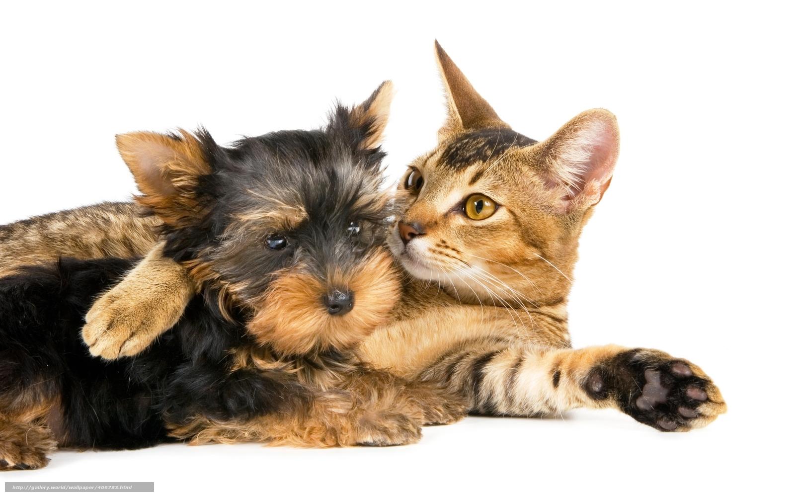 Скачать обои кот кошка собака терьер