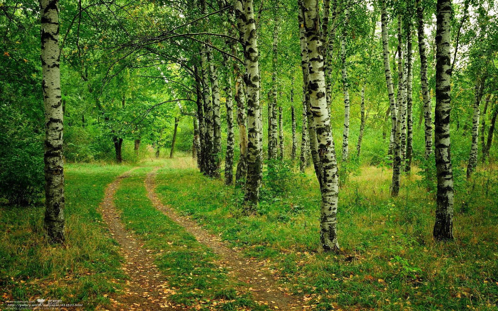 Download Wallpaper Birch Trees Road Free Desktop