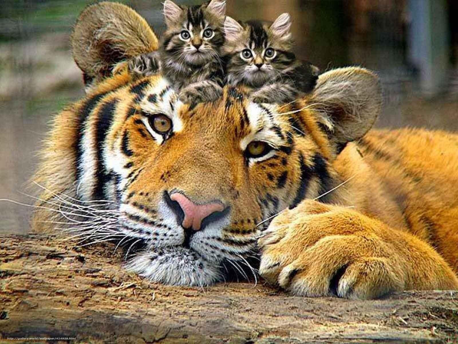 Download hintergrund tiere katzen tiger ktzchen freie desktop