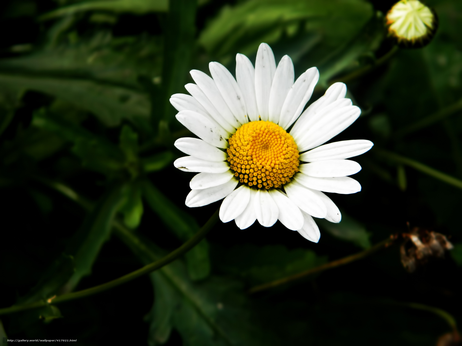 Download wallpaper flower chamomile macro greens free desktop wallpaper in