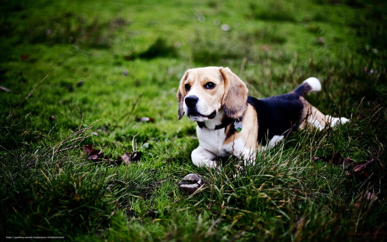 dog beagle guilty wallpapers - photo #22