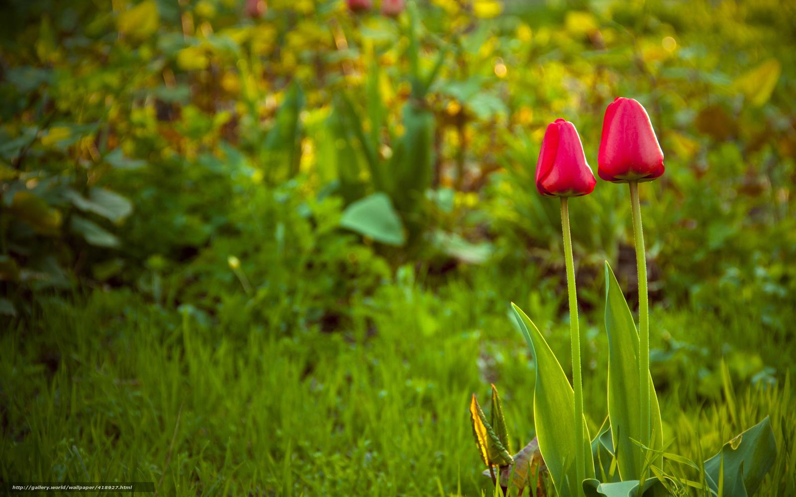 Scaricare gli sfondi primavera tulipani erba prato for Immagini per desktop fiori